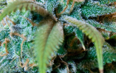 Treating Glaucoma With Marijuana